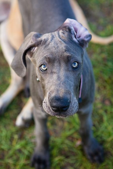 Luna the Great Dane Pictures 25274