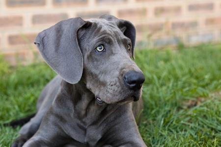 Luna the Great Dane Pictures 25273