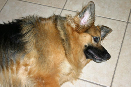Treasure the German Shepherd Mix Pictures 379336