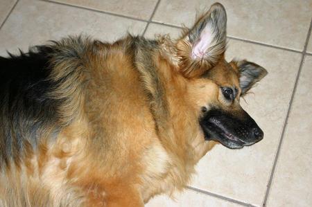 German Shepherd Pomeranian Mix Puppies Photo 9