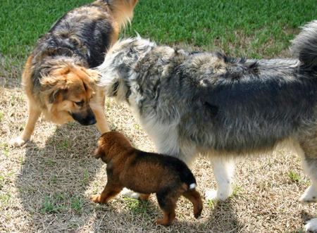 Treasure the German Shepherd Mix Pictures 379337