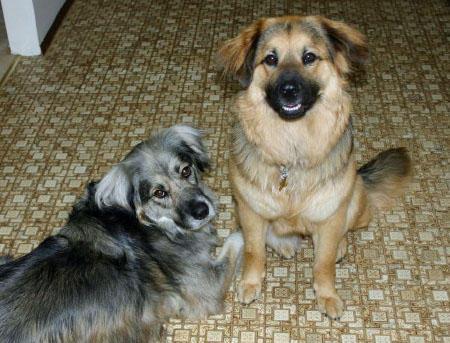 Treasure the German Shepherd Mix Pictures 379338