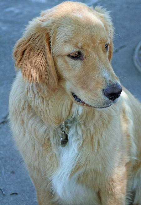 Abner the Golden Retriever Pictures 380220
