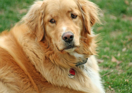 Abner the Golden Retriever Pictures 380224