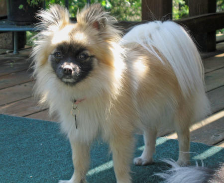 Reeses the Pomeranian Pictures 298386