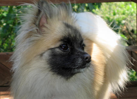 Reeses the Pomeranian Pictures 298390