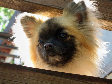 Reeses the Pomeranian Pictures 298388