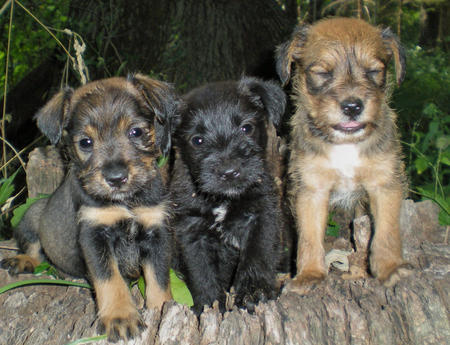 The Adoptable Schnauzer Mix Puppies Pictures 382419