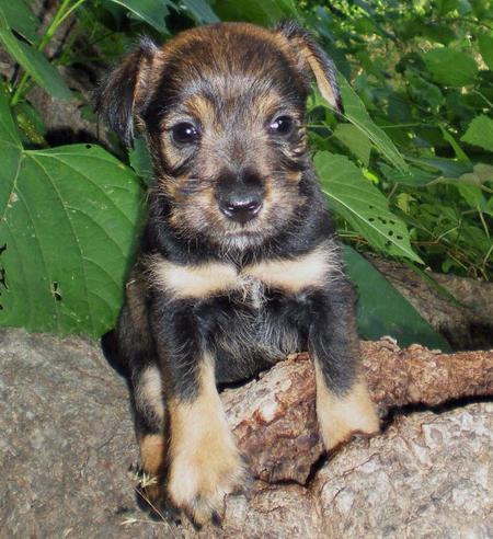 The Adoptable Schnauzer Mix Puppies | Puppies | Daily Puppy