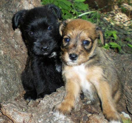 The Adoptable Schnauzer Mix Puppies Pictures 382418