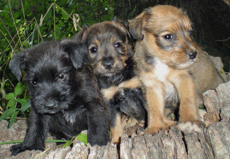 The Adoptable Schnauzer Mix Puppies Pictures 382413