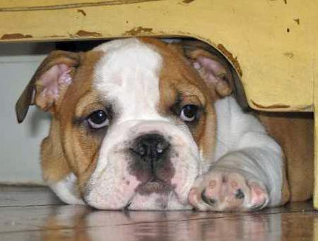Winnie the Miniature English Bulldog Pictures 35126