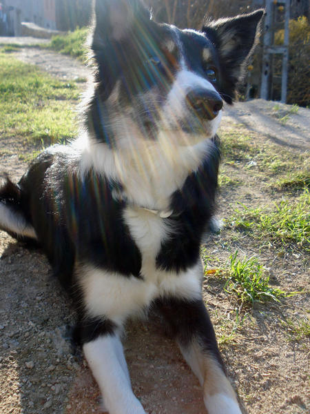Lluvia the Border Collie Pictures 383186
