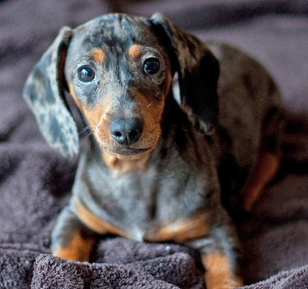 Apple the Dachshund Pictures 385987
