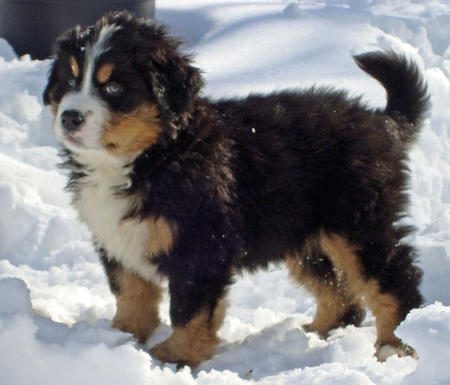 Anna the Bernese Mountain Dog Pictures 392374