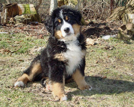 Anna the Bernese Mountain Dog Pictures 392371