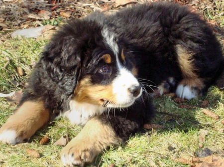 Anna the Bernese Mountain Dog Pictures 392373