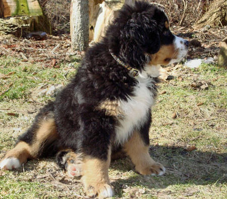 Anna the Bernese Mountain Dog Pictures 392370