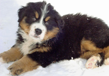 Anna the Bernese Mountain Dog Pictures 392369
