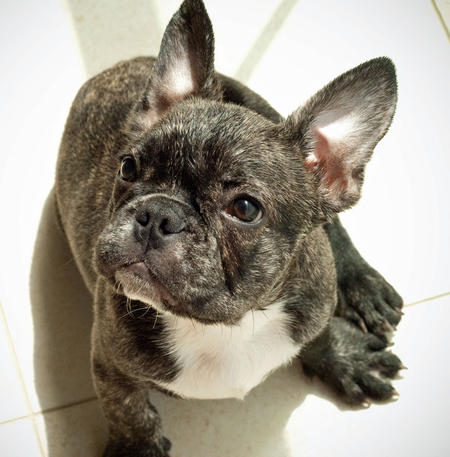 Hudson the French Bulldog Pictures 392663