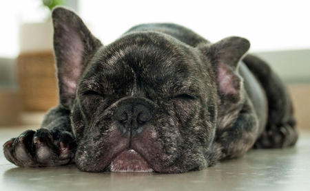 Hudson the French Bulldog Pictures 392658
