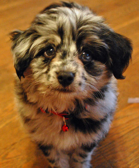 Panda the Australian Shepherd Mix Pictures 395034