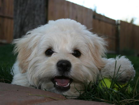 Miss Tussie the Shih Tzu Mix Pictures 26567