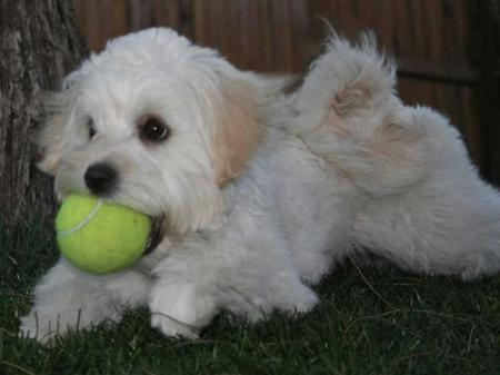 Miss Tussie the Shih Tzu Mix Pictures 26565
