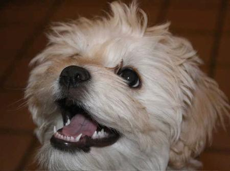 Miss Tussie the Shih Tzu Mix Pictures 26573