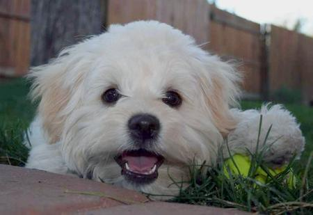 Miss Tussie the Shih Tzu Mix Pictures 26574