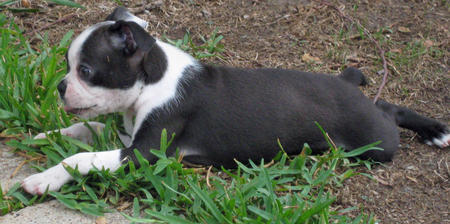 Lilly the Boston Terrier Pictures 398168