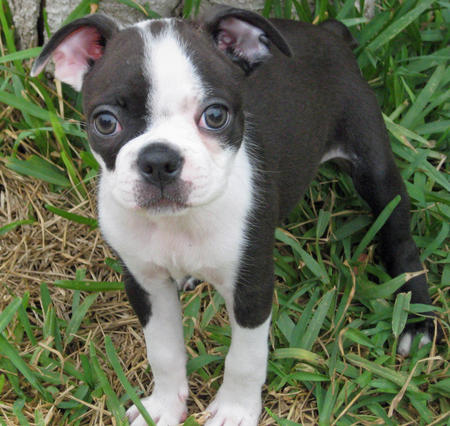 Lilly the Boston Terrier Pictures 398165