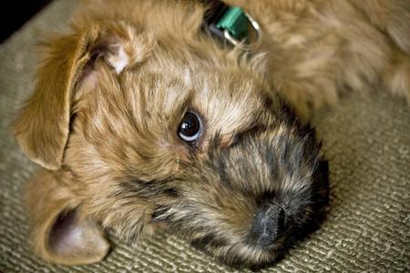 Bruce the Soft-Coated Wheaten Terrier Pictures 65282