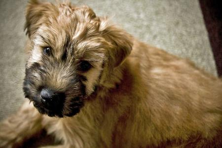 Bruce the Soft-Coated Wheaten Terrier Pictures 65283
