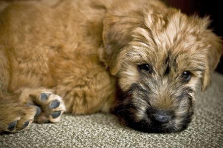 Bruce the Soft-Coated Wheaten Terrier Pictures 65284