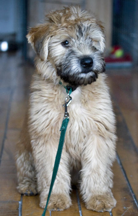 Bruce the Soft-Coated Wheaten Terrier Pictures 65286