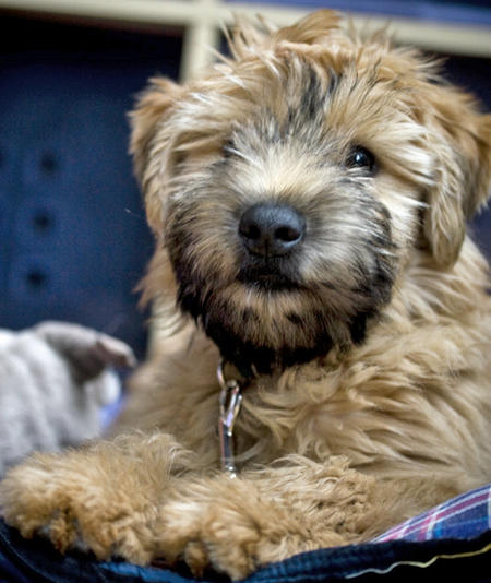 Bruce the Soft-Coated Wheaten Terrier Pictures 65287