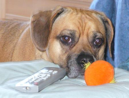Jacob the Puggle Pictures 26710