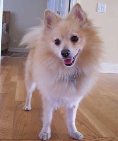 Wiggins the Pomeranian Pictures 28266