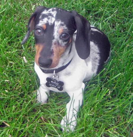 Beasley the Miniature Dachshund  Pictures 35350