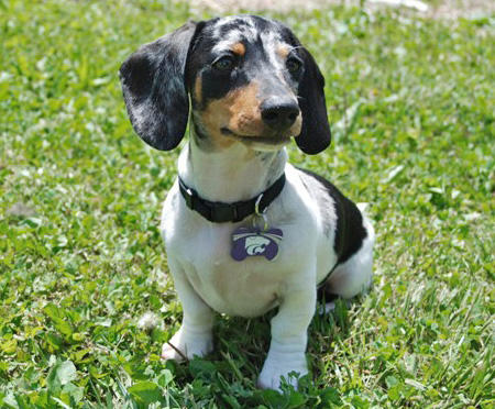 Beasley the Miniature Dachshund  Pictures 35355