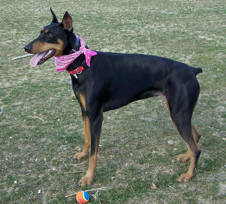 Nikita the Doberman Pinscher Pictures 402478