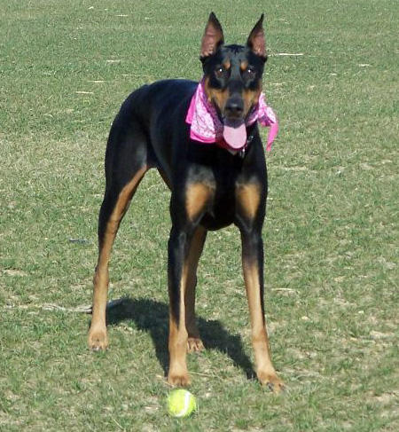 Nikita the Doberman Pinscher Pictures 402480