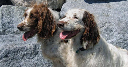 Sugar and Spice the English Springer Spaniels Pictures 405675