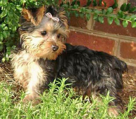 London the Yorkshire Terrier Pictures 33643