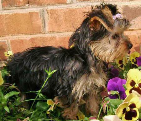 London the Yorkshire Terrier Pictures 33640