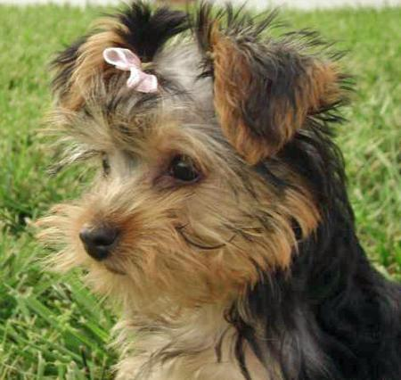 London the Yorkshire Terrier Pictures 33638