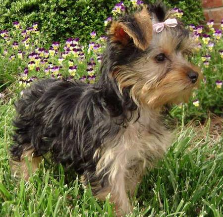 yorkshire terrier puppy haircuts Popular Yorkshire Terrier HaircutsYorkshire Terrier Puppy Haircuts