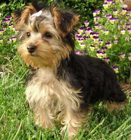 London the Yorkshire Terrier Pictures 33636