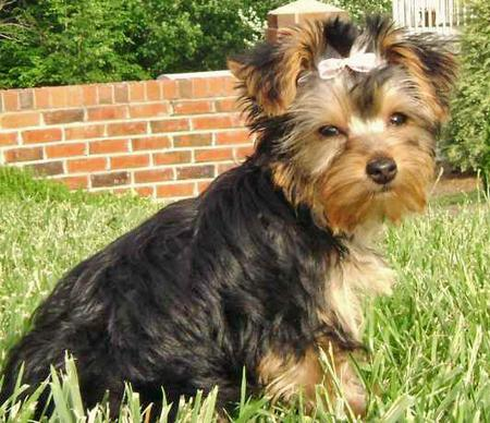 London the Yorkshire Terrier Pictures 33634